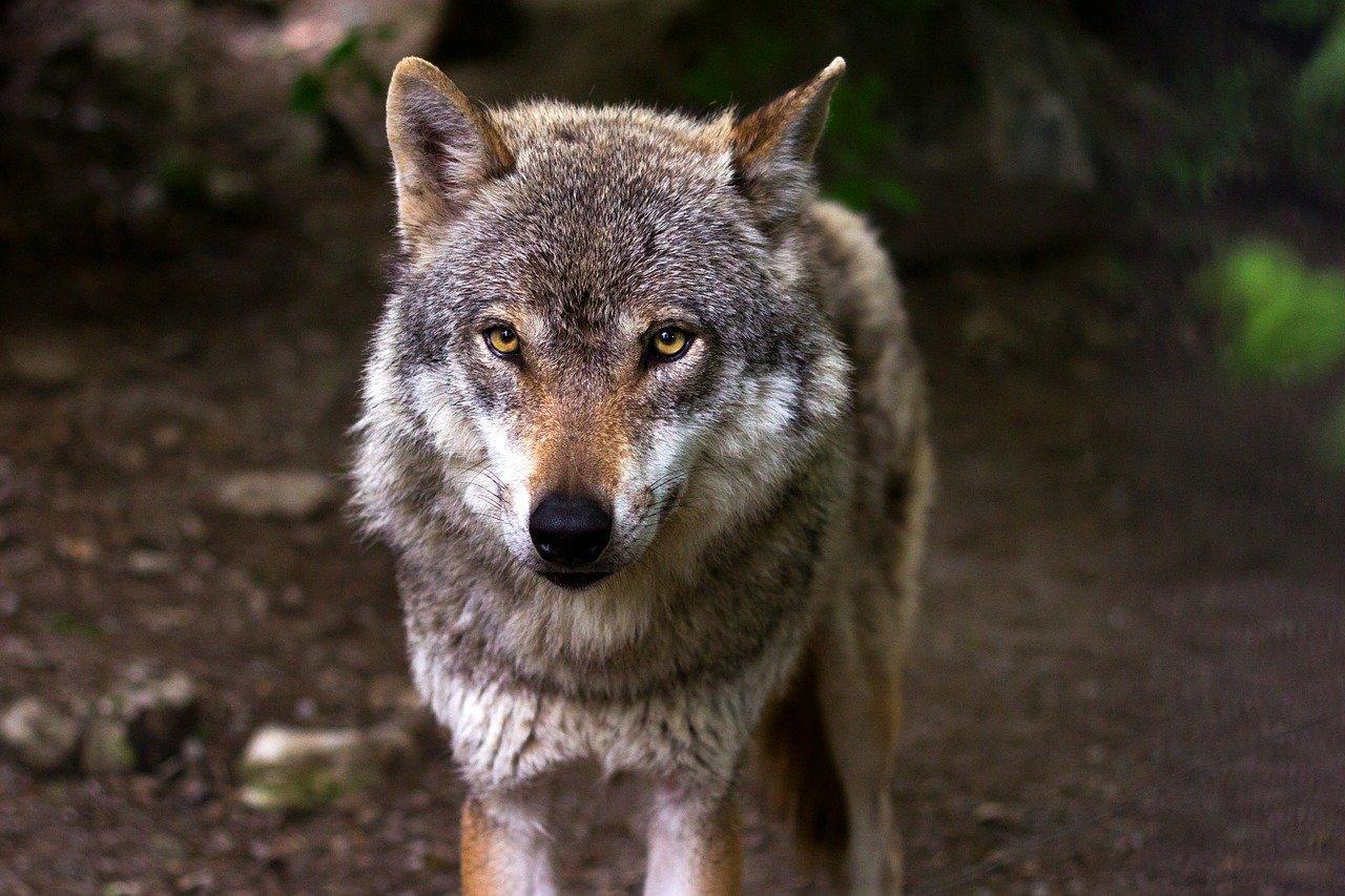Lupo ucciso nel parmense: un atto criminale condannato dagli animalisti
